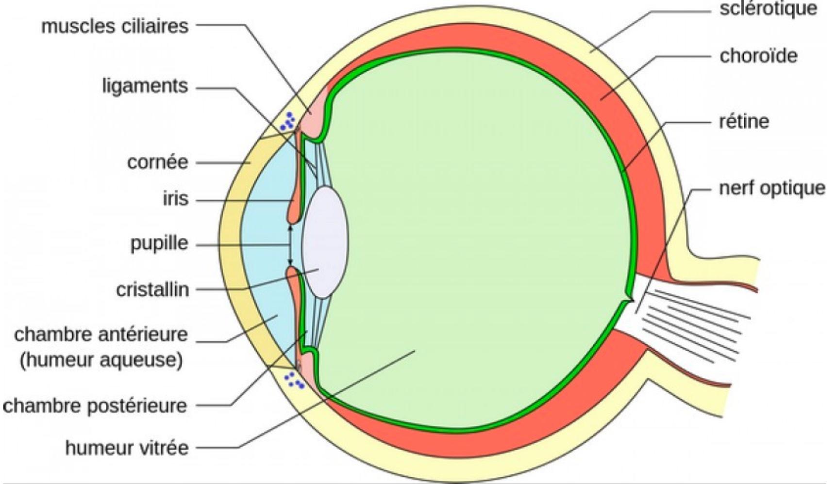 schéma oeil humain